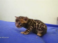 маленький бенгальский котенок.flv